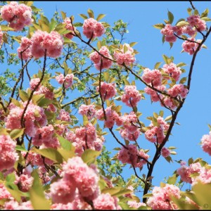 fleur cerisier printemps France Japon