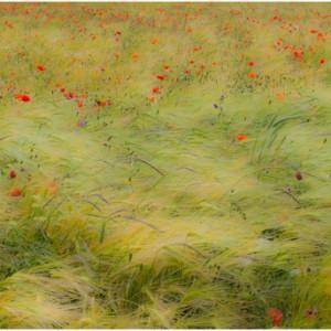 champ fleur coquelicot herbe folle vent