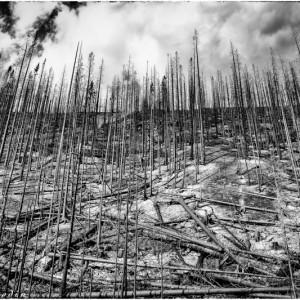 Forêt brulée en Colombie Britannique (Canada)