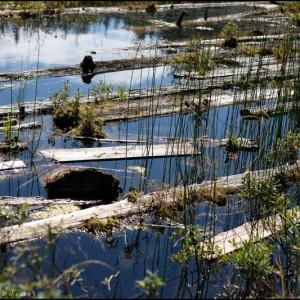 Bois flottant sur le Lost lake (Whistler - Colombie Britannique)